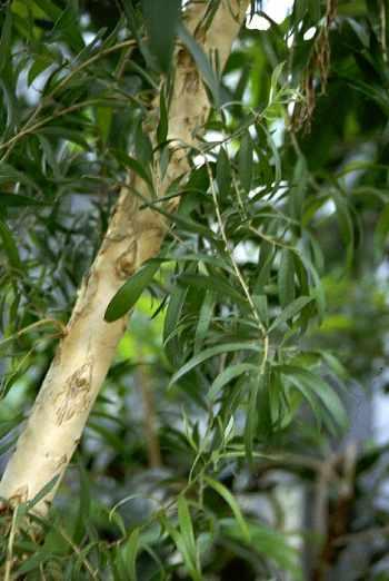 arbre-a-the_huiles_essentielles