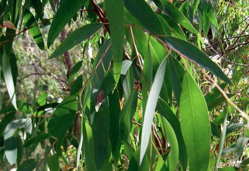 Huiles essentielles-Eucalyptus radiata