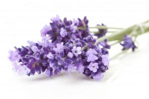 Alzheimer : Les bienfaits de la lavande vraie