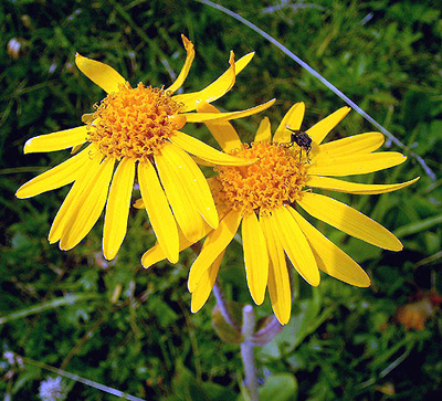 L'arnica, une fleur qui vaut le coup !