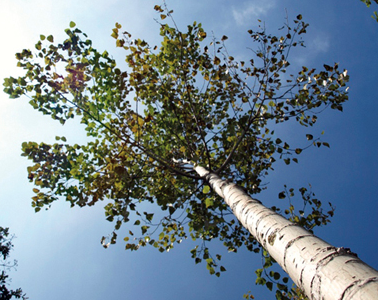 Sève de bouleau : Découvrez tous les bienfaits de ce nectar naturel