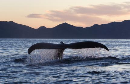 Les baleines, rencontre avec les Anges des Mers